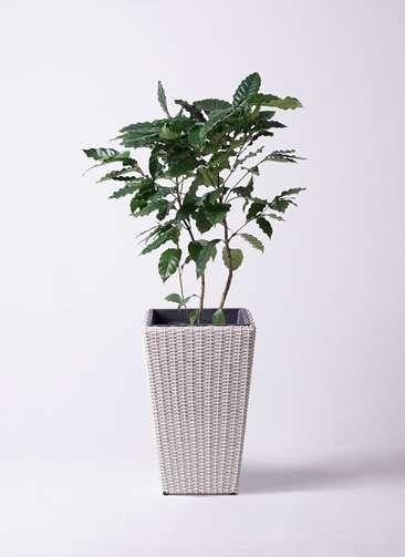 観葉植物 コーヒーの木 8号 ウィッカーポット スクエアロング OT 白 付き