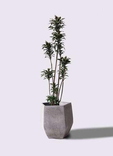 観葉植物 ドラセナ パープルコンパクタ 8号 ファイバークレイ Gray 付き