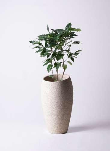 観葉植物 コーヒーの木 8号 エコストーントールタイプ Light Gray 付き