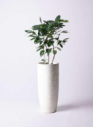 観葉植物 コーヒーの木 8号 エコストーントールタイプ white 付き