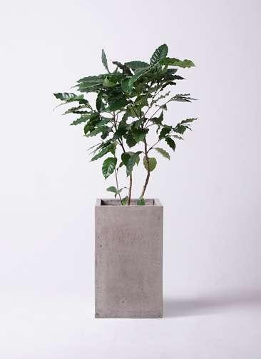 観葉植物 コーヒーの木 8号 セドナロング グレイ 付き