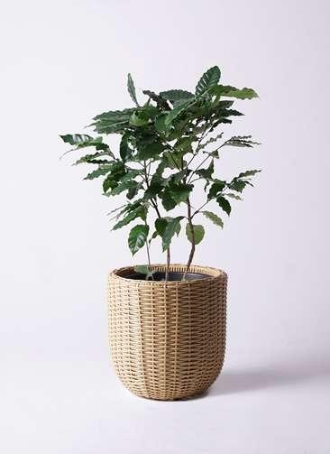 観葉植物 コーヒーの木 8号 ウィッカーポットエッグ ベージュ 付き