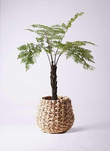 観葉植物 ヘゴ 8号 ラッシュバスケット Natural 付き