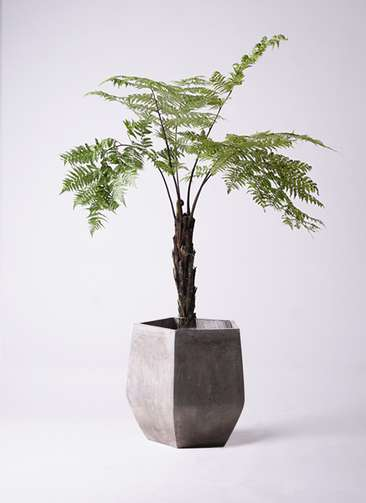 観葉植物 ヘゴ 8号 ファイバークレイ Gray 付き