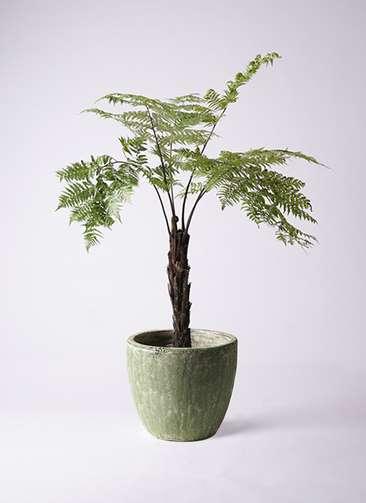 観葉植物 ヘゴ 8号 アビスソニアミドル 緑 付き