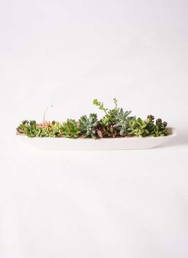 多肉植物 寄せ植え ふね型 白砂 #002