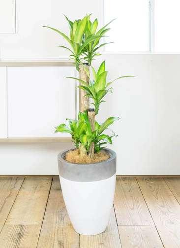 観葉植物 ドラセナ 幸福の木 8号 ファイバーストーン カプリ 白 付き