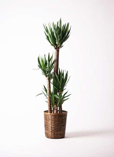 観葉植物 ユッカ 10号 竹バスケット 付き