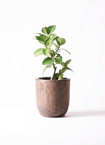 観葉植物 フィカス ベンガレンシス 6号 ストレート ビトロ ウーヌム コッパー釉 付き