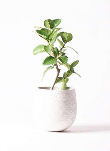 観葉植物 フィカス ベンガレンシス 6号 ストレート エコストーンwhite 付き