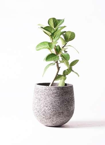 観葉植物 フィカス ベンガレンシス 6号 ストレート エコストーンGray 付き
