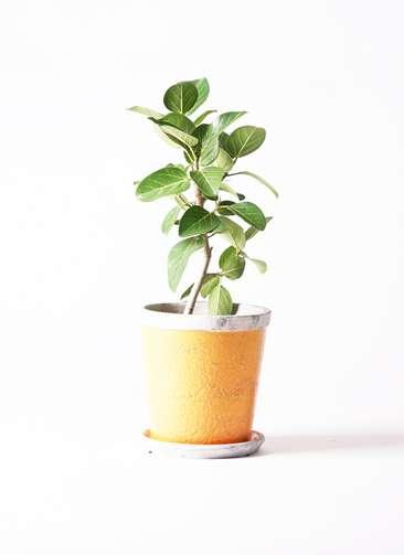 観葉植物 フィカス ベンガレンシス 6号 アンティークテラコッタOrange 付き