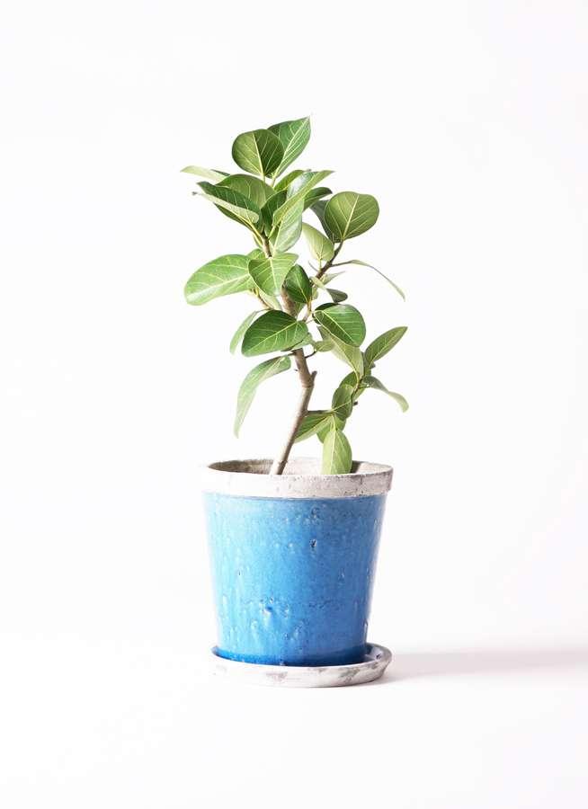 観葉植物 フィカス ベンガレンシス 6号 ストレート アンティークテラコッタBlue 付き