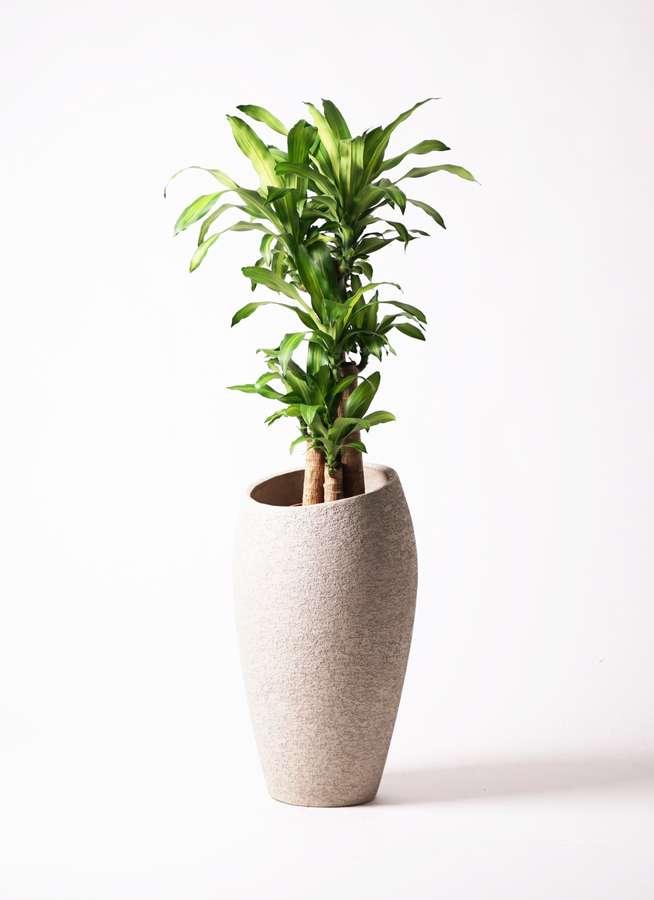 観葉植物 ドラセナ 幸福の木 8号 ノーマル エコストーントールタイプ Light Gray 付き