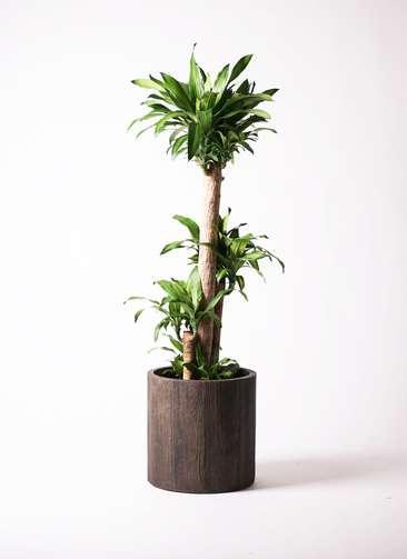 観葉植物 ドラセナ 幸福の木 10号 アルファシリンダープランター 付き