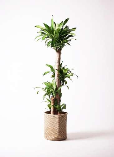 観葉植物 ドラセナ 幸福の木 10号 リブバスケットNatural 付き