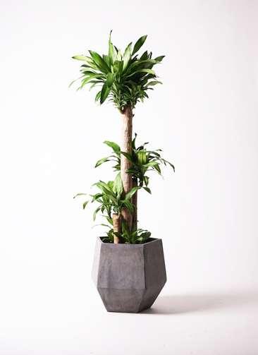 観葉植物 ドラセナ 幸福の木 10号 ノーマル ファイバークレイGray 付き