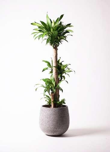 観葉植物 ドラセナ 幸福の木 10号 エコストーンGray 付き