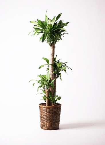 観葉植物 ドラセナ 幸福の木 10号 竹バスケット 付き
