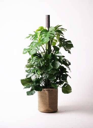 観葉植物 モンステラ 10号 ヘゴ柱 リブバスケットNatural 付き