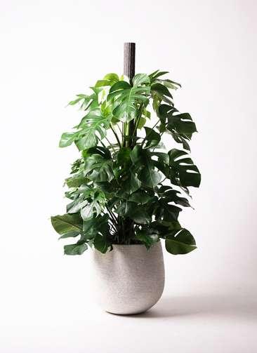 観葉植物 モンステラ 10号 ヘゴ柱 エコストーンwhite 付き