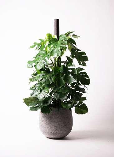 観葉植物 モンステラ 10号 ヘゴ柱 エコストーンGray 付き