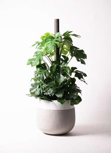 観葉植物 モンステラ 10号 ヘゴ柱 ファイバーストーンタウルス ミドル 白 付き