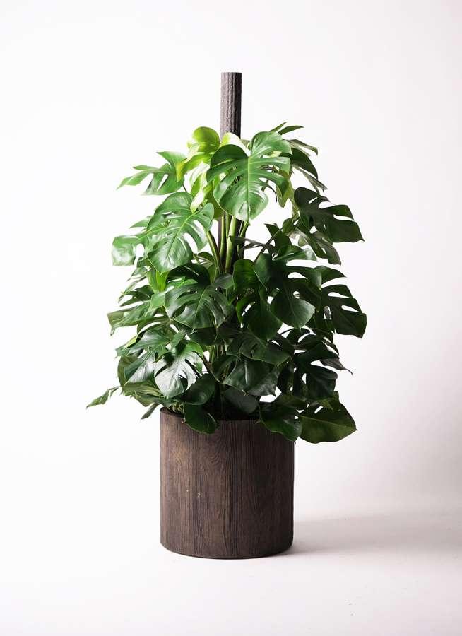 観葉植物 モンステラ 10号 ヘゴ柱 アルファシリンダープランター 付き