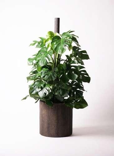 観葉植物 モンステラ 10号 アルファシリンダープランター 付き
