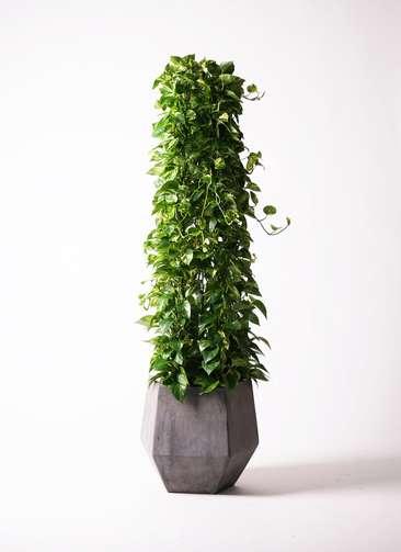 観葉植物 ポトス 10号 ファイバークレイGray 付き