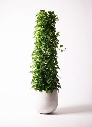 観葉植物 ポトス 10号 エコストーンwhite 付き