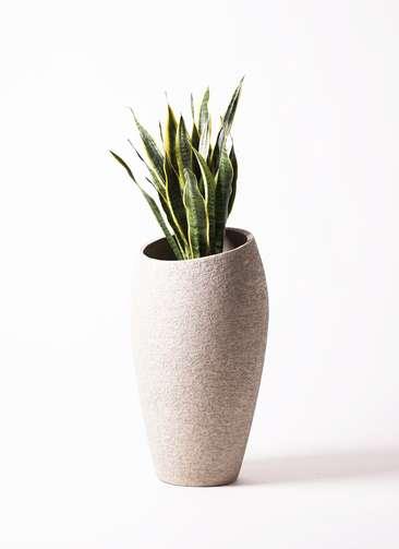 観葉植物 サンスベリア 8号 エコストーントールタイプ Light Gray 付き
