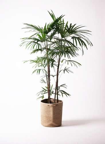 観葉植物 シュロチク(棕櫚竹) 10号 リブバスケットNatural 付き