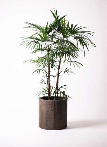 観葉植物 シュロチク(棕櫚竹) 10号 アルファシリンダープランター 付き