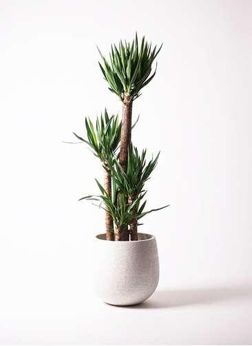 観葉植物 ユッカ 10号 エコストーンwhite 付き