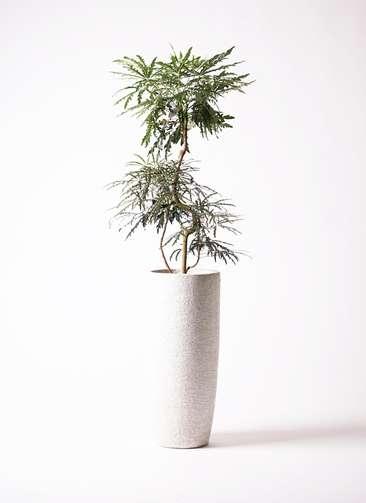 観葉植物 グリーンアラレア 曲り8号 エコストーントールタイプ white 付き