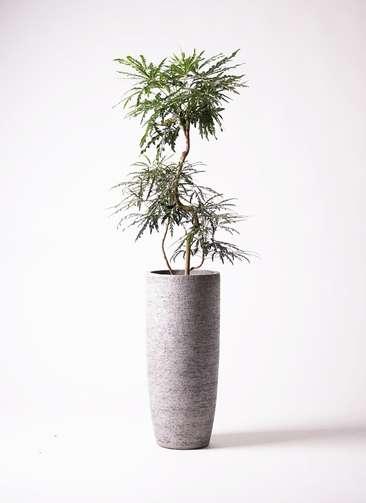 観葉植物 グリーンアラレア 曲り8号 エコストーントールタイプ Gray 付き
