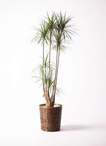 観葉植物 ドラセナ コンシンネ 10号 竹バスケット 付き