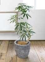 観葉植物 シェフレラ アンガスティフォリア 曲り8号 アビスソニア ミドル 灰 付き
