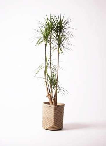 観葉植物 ドラセナ コンシンネ 10号 リブバスケットNatural 付き