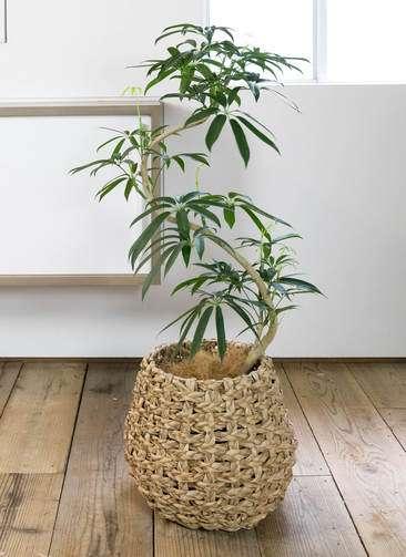 観葉植物 シェフレラ アンガスティフォリア 曲り8号 ラッシュバスケット Natural 付き