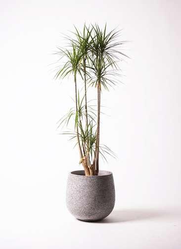 観葉植物 ドラセナ コンシンネ 10号 エコストーンGray 付き