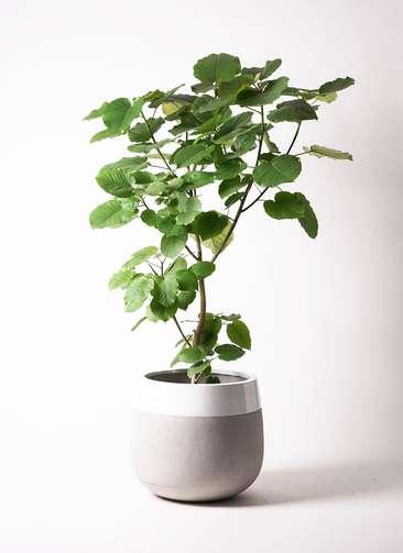 観葉植物 フィカス ウンベラータ 10号 ノーマル ファイバーストーン タウルス ミドル 白 付き