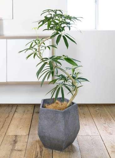 観葉植物 シェフレラ アンガスティフォリア 曲り8号 ファイバークレイ Gray 付き