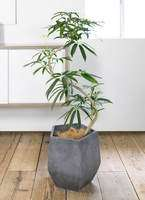 観葉植物 シェフレラ アンガスティフォリア 8号 曲り ファイバークレイ Gray 付き