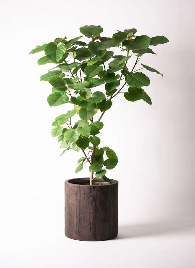 観葉植物 フィカス ウンベラータ 10号 ノーマル アルファシリンダープランター 付き