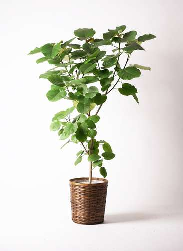 観葉植物 フィカス ウンベラータ 10号 竹バスケット 付き