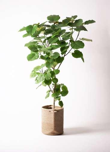 観葉植物 フィカス ウンベラータ 10号 ノーマル リブバスケットNatural 付き