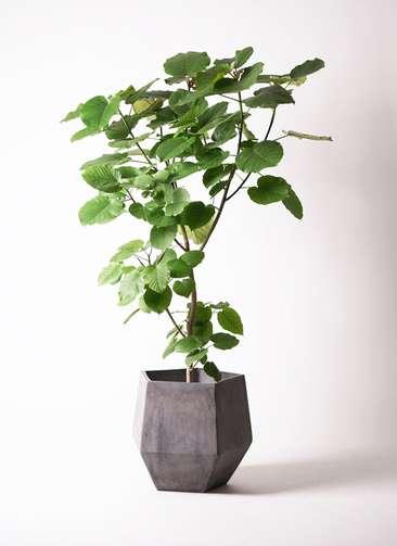 観葉植物 フィカス ウンベラータ 10号 ファイバークレイGray 付き