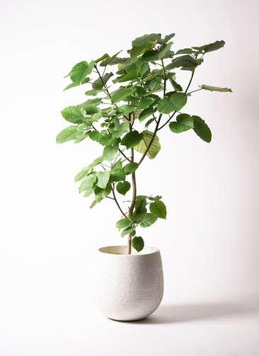 観葉植物 フィカス ウンベラータ 10号 エコストーンwhite 付き